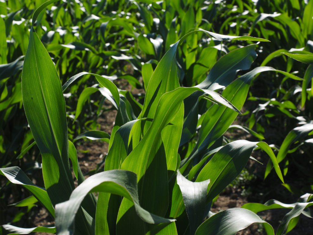 cornfield-592579